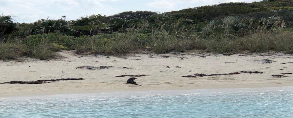 Allen Cay, Exumas, Iguanas