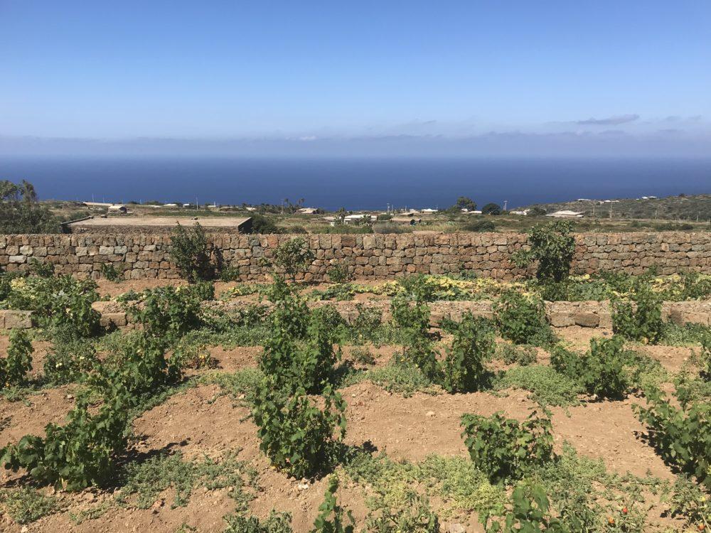 Alberello (bush) grapevines on the island of Pantelleria, Sicily