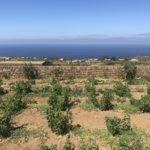 Alberello Grapevines on Pantelleria Island, Sicily