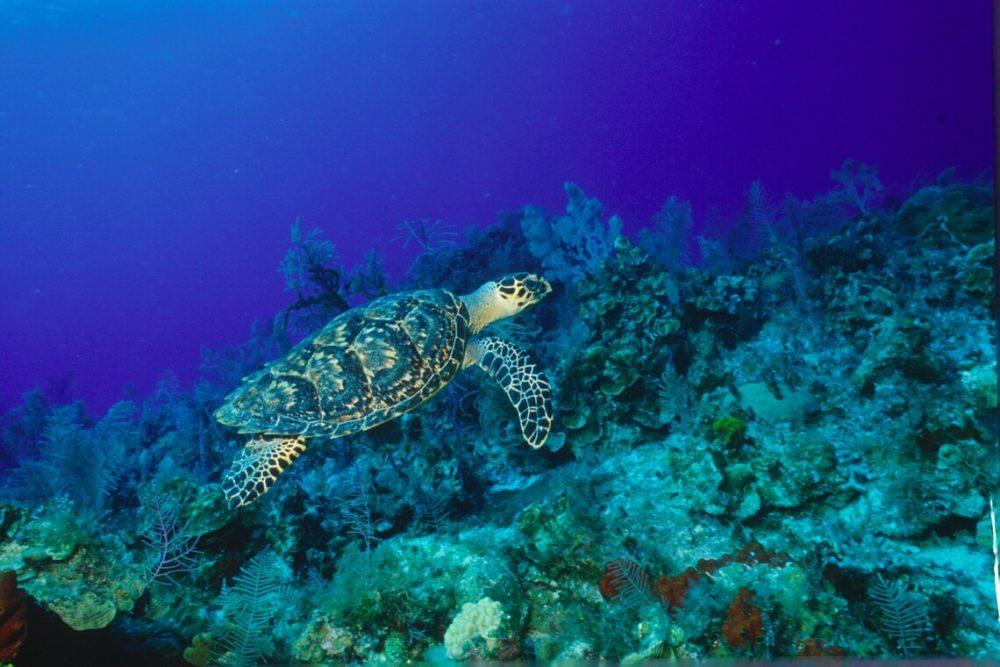 Sea turtle in the BVI