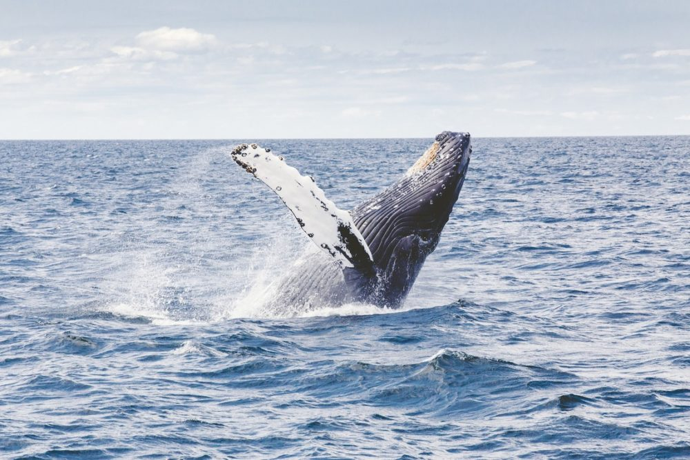 Humpback whales in the BVI