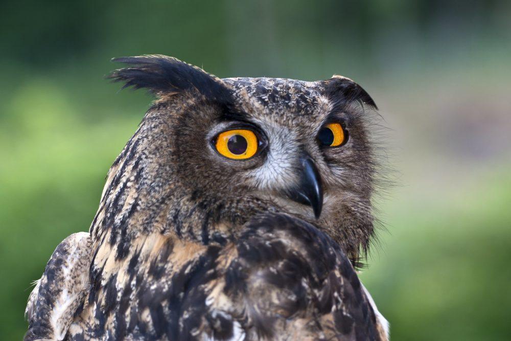 Eurasian Eagle Owl in Ucka Nature Park